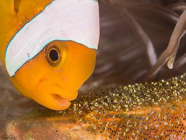 Saddleback Anemonefish