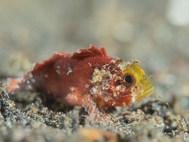 Barchin Scorpionfish