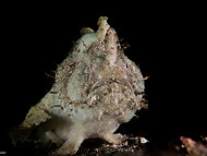 White-spotted Anglerfish