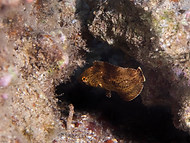 Bluespotted Wrasse - Juvenile
