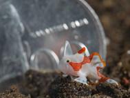 Warty Anglerfish - Juvenile
