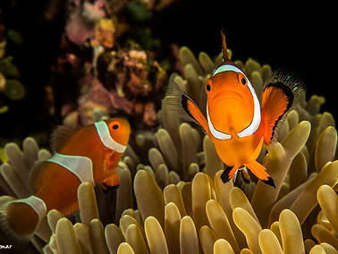 Ocellaris (Clown) Anemonefish