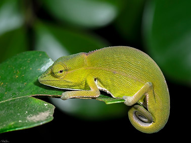 Short-nosed Chameleon