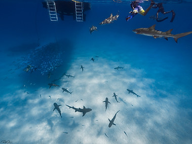 A Group of Sharks from Above