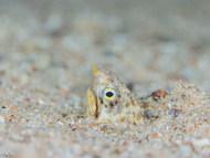 Marbled Snake Eel - Juvenile