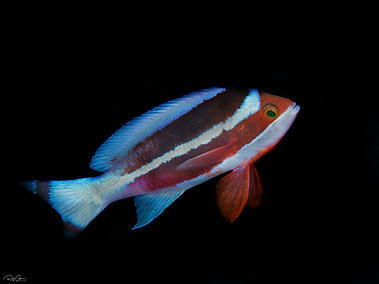 Red Sea Anthia - Male