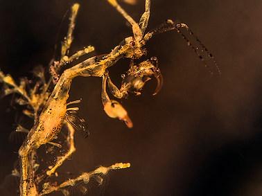 Golden-lined Skeleton Shrimp