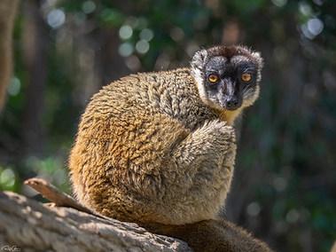Common Brown Lemur