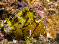 Leaf Scorpionfish - Yellow