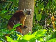 Black Lemur - Female