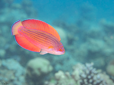 Red Sea Flasher Wrasse - Male