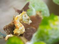 Pontoh's Pygmy Seahorse