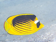 Red Sea Raccoon (Diagonal) Butterflyfish