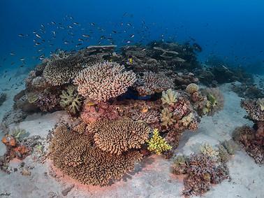 Venus Table Coral