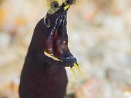 Ribbon Moray Eel - Juvenile