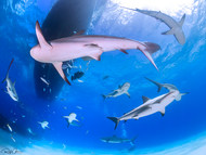 A Group of Sharks from the Bottom