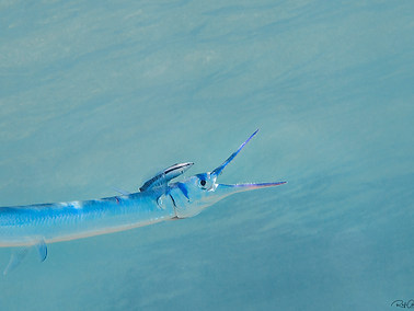 Red Sea Needlefish
