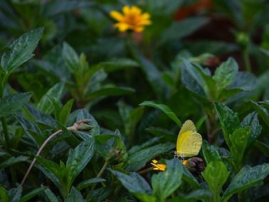 Broad-bordered Grass Yellow