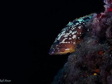 Dusky Grouper