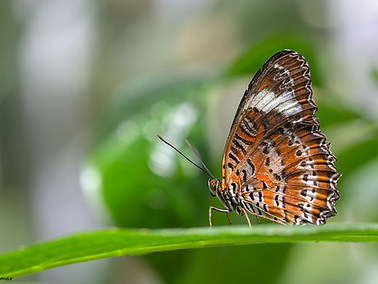 Plain Lacewing Butterfly