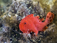 Spiny-tufted Frogfish