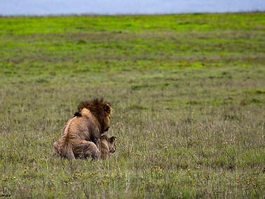 Lion - Mating