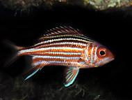 mediterranean squirrelfish