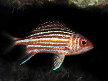 Mediterranean Squirrelfish