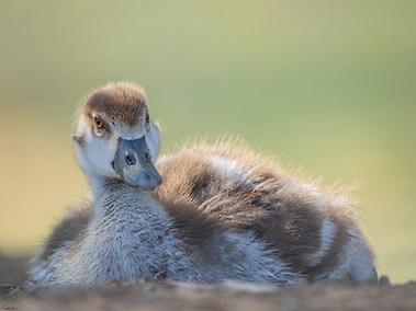Egyptian Goose - Fledging