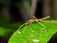 Grass Stick Insects