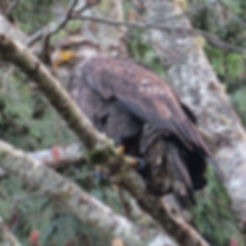Juvenile Bald Eagle (Tina).jpg