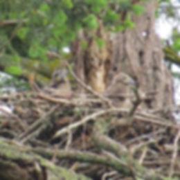 Bald Eagle eaglets photo by Tina Kirschner
