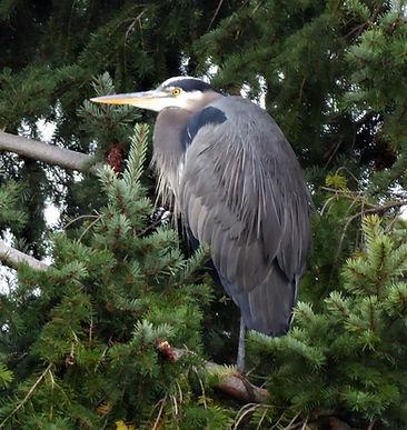 Heron in Tree1a.jpg