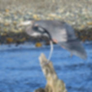 Heron (Tina Kirschner).jpg
