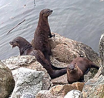 River otters (Pete)_edited.jpg