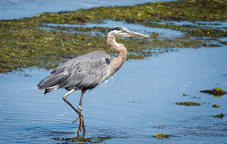 Great Blue Heron (Harold Austin)_edited.