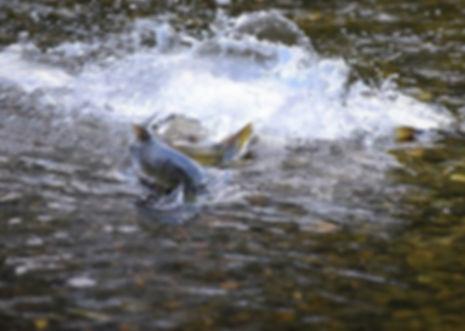 Salmon run2a.jpg