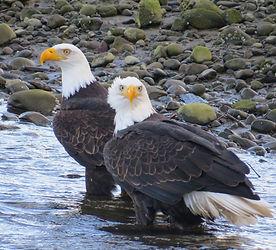 Pair of Bald Eagles (Tina).jpg