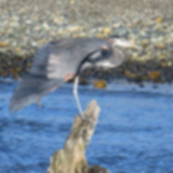Heron (Tina Kirschner)_edited.jpg
