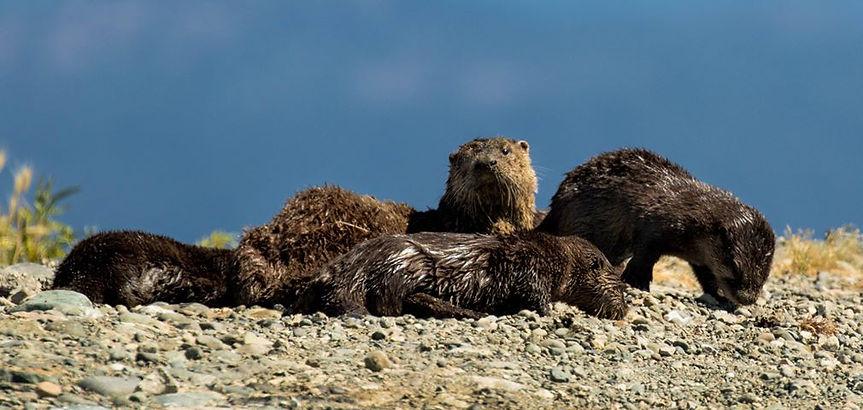 Otter Family (D Freeman).jpg