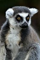 2018 Cosentino - Lemur.jpg
