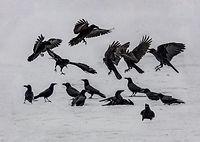 2017 BALDWIN - A Murder Of Crows.jpg