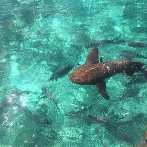 Swim with nurse sharks.