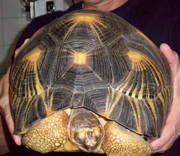 Strahlenschildkröte Raphael