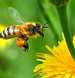 honey-bee-carrying-out-pollination.jpg
