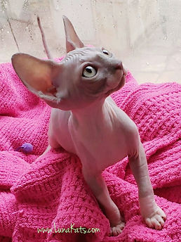 GALLERY | Welcome LunaKatSphynx Sphynx in Houston Texas
