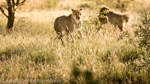 Namibia SELF DRIVE TOUR Tag 10 - Cheetah Farm