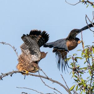 Die Falken jagen gerne im Weinberg