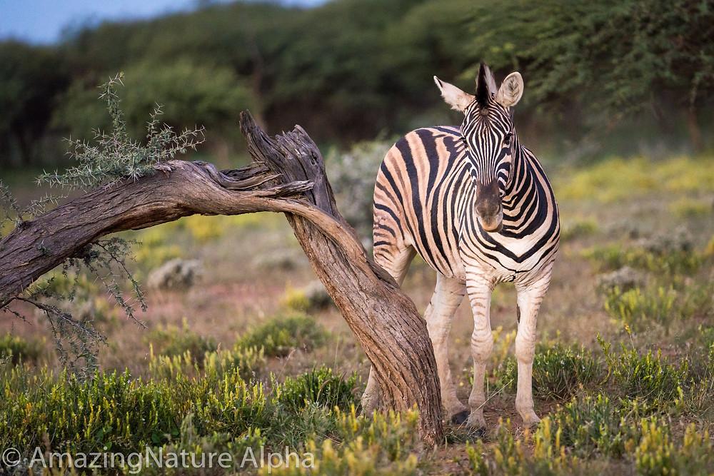 Steppenzebra Afrika Namibia Erindi