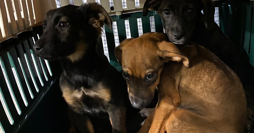 Three puppies rescued from a property in rural Tennessee